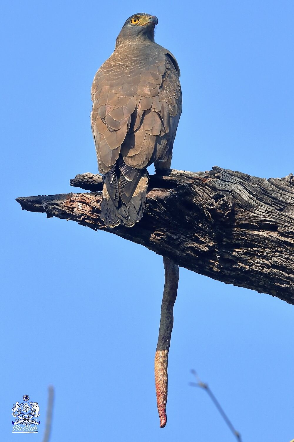 Serpent eagle Bird eating snake kill sitting on tree top