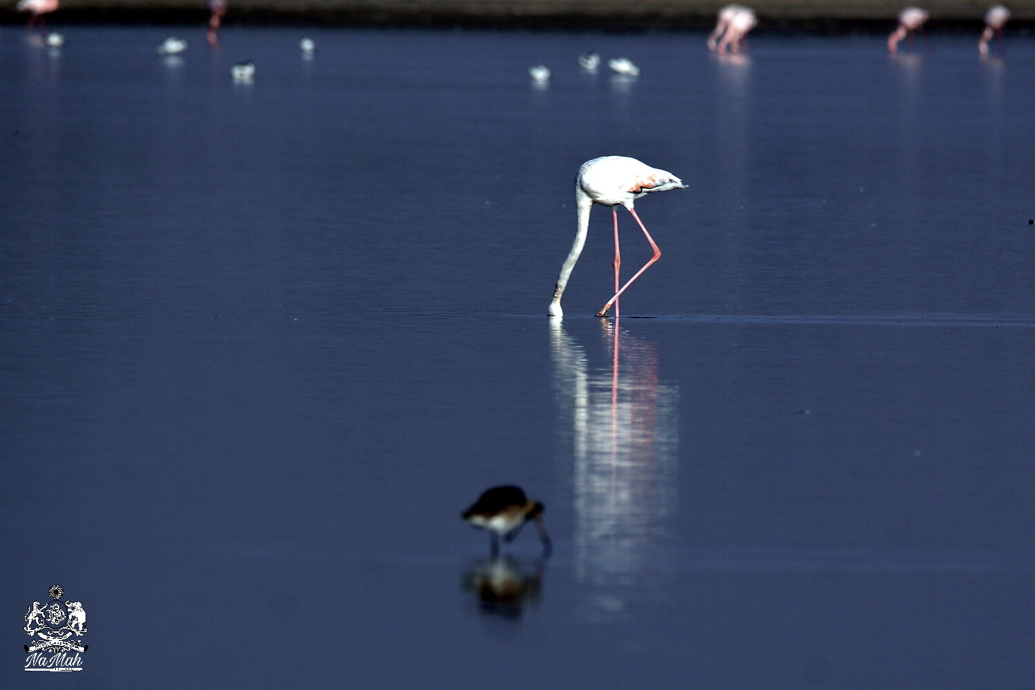 Flamingo in search of food with head dipped