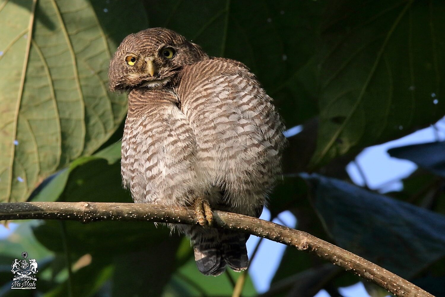 Owlet looking for prey clicked while on bird watching