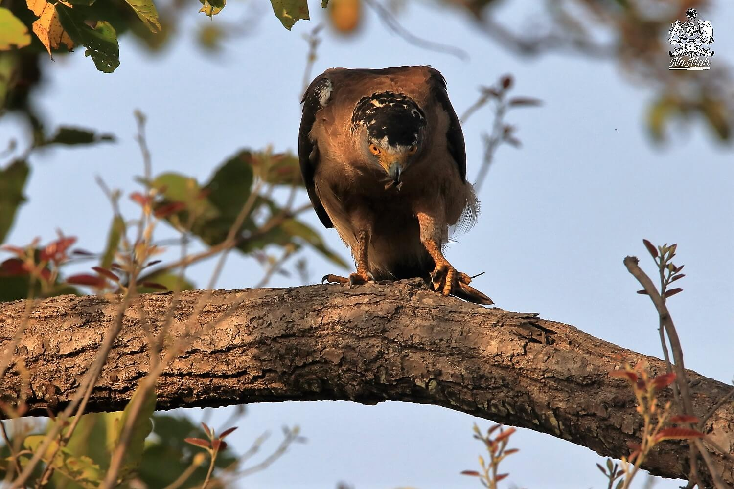 Serpent eagle Predator bird enjoying its meal of crab