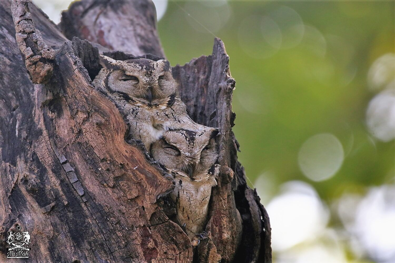 Scoops Owls resting in hole of tree photographed at Kanha National Park
