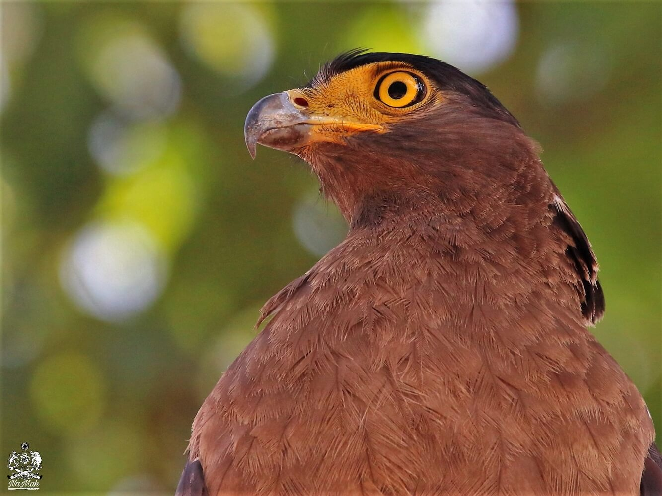 Crested Serpent Eagle Portrait