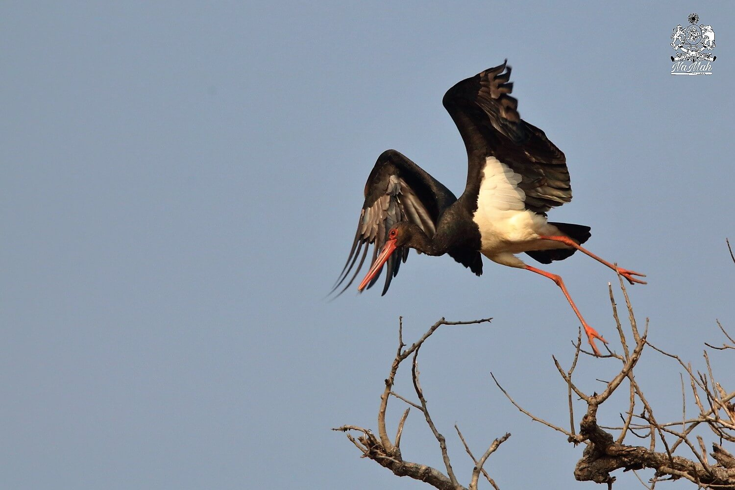 Black stork taking flight from tree branch