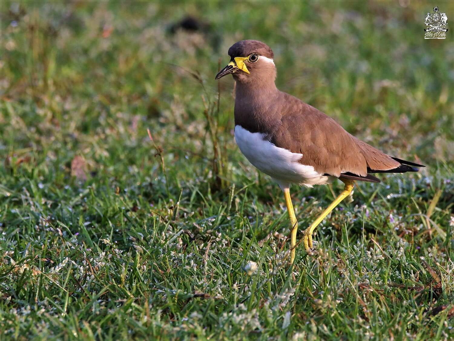 Yellow Wattled Lapwing can be seen in Kanha national park