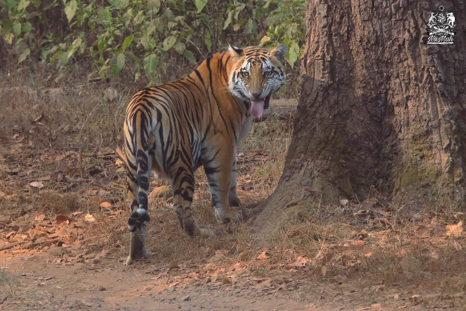 Tiger making flehman expression after sniffing on tree