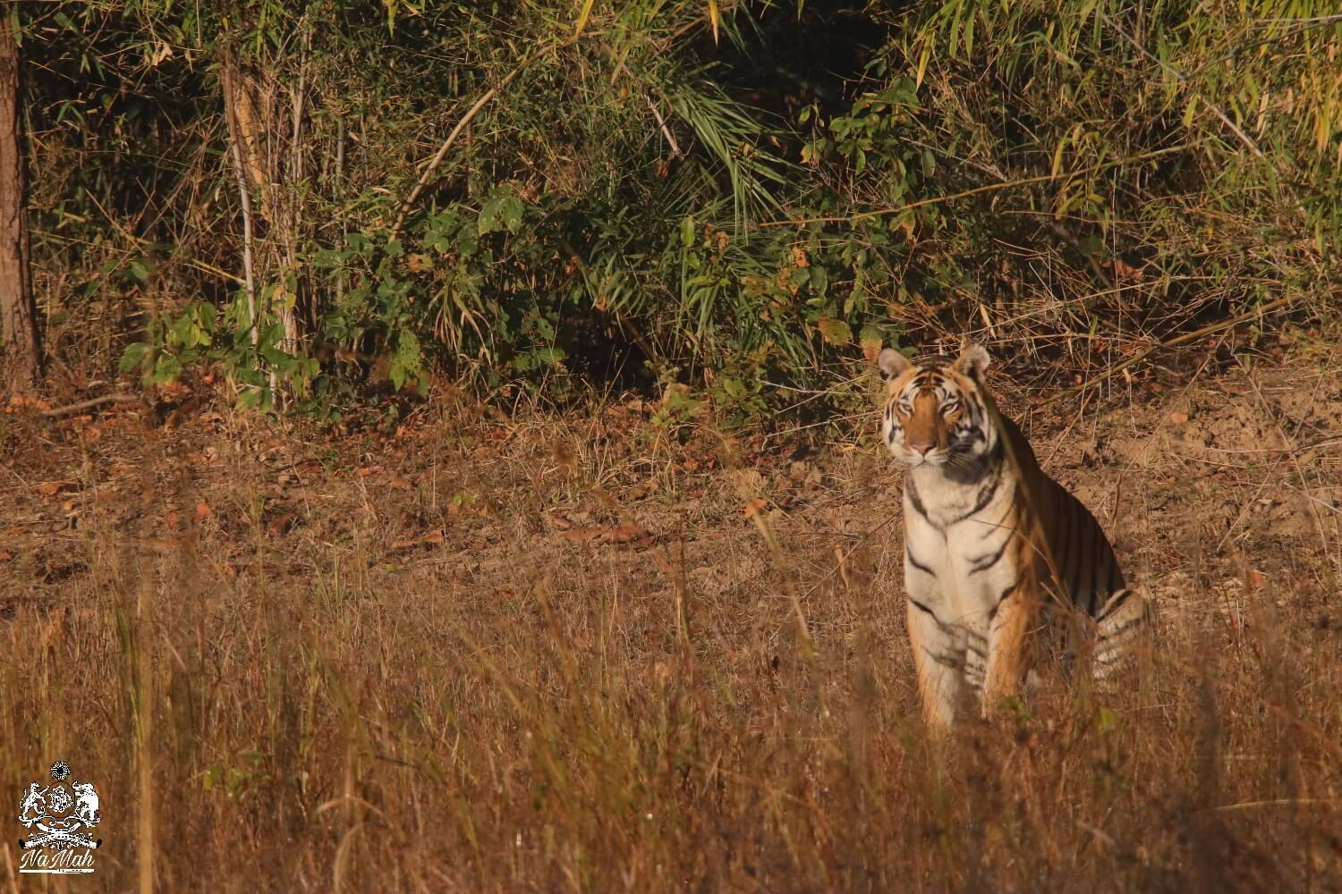 Naina Tiger from Kanha sitting and enjoying early winter morning sun