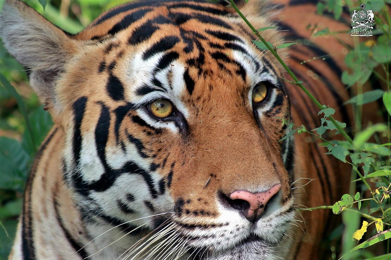 Tiger close up portrait photograph from Kanha National Park