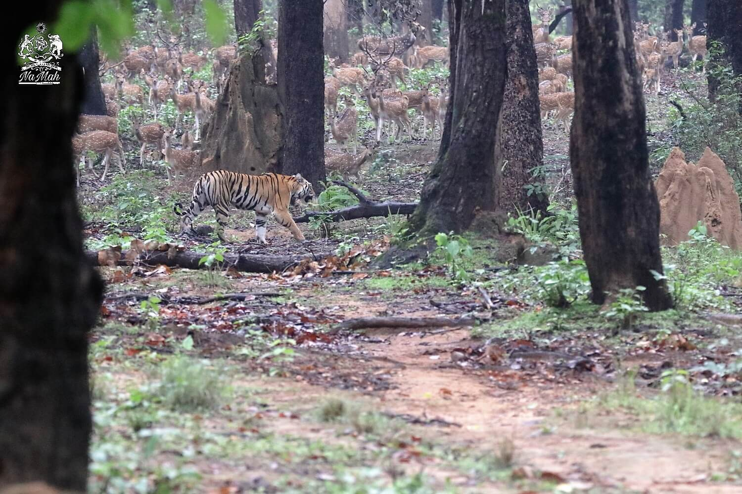 Tiger Neelam walking with herd of spotted deer looking her