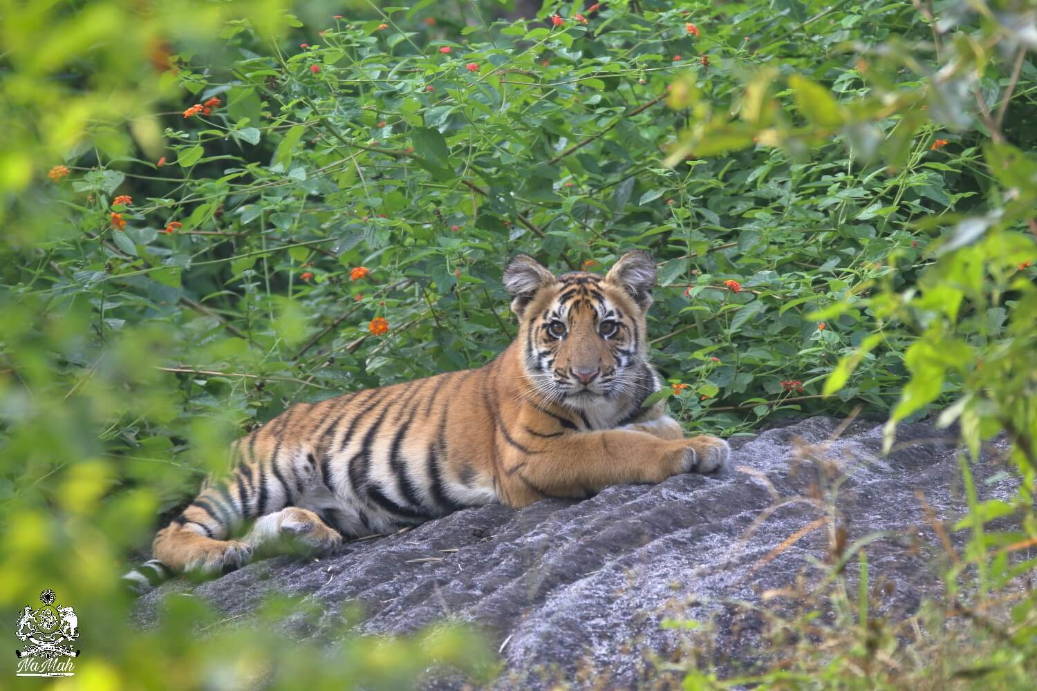 Tiger Dhawajhandi's cub sitting on rock in central Indian jungles