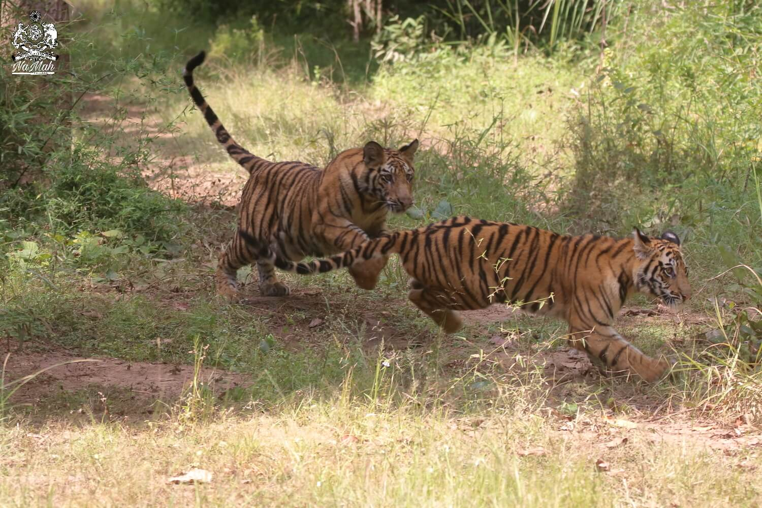 Tiger cubs playing in forest of Bandhavgarh