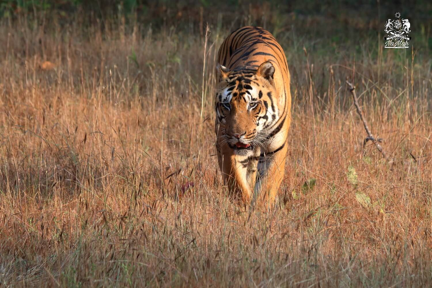 Tiger taking a walk in forests of Kanha National Park
