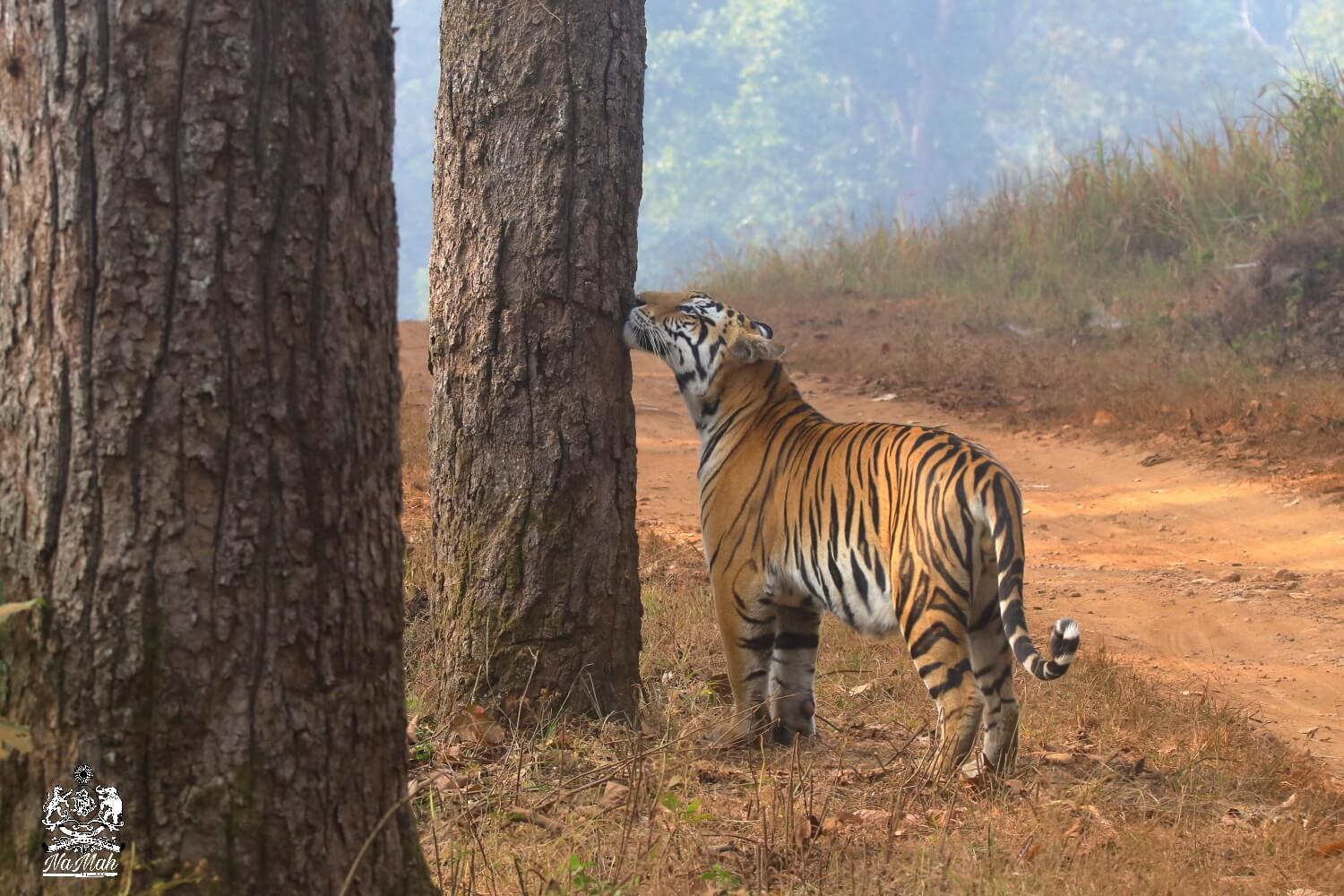 Tiger snifs tree to check for other wild cats in area