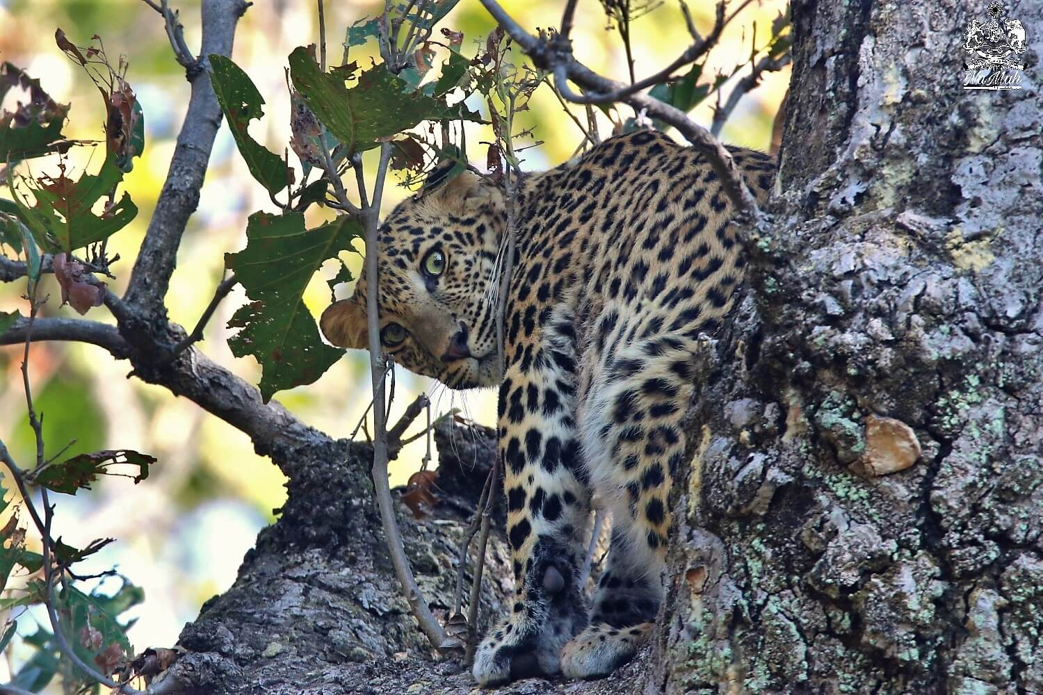 Leopard staring at photogrpaher from tree
