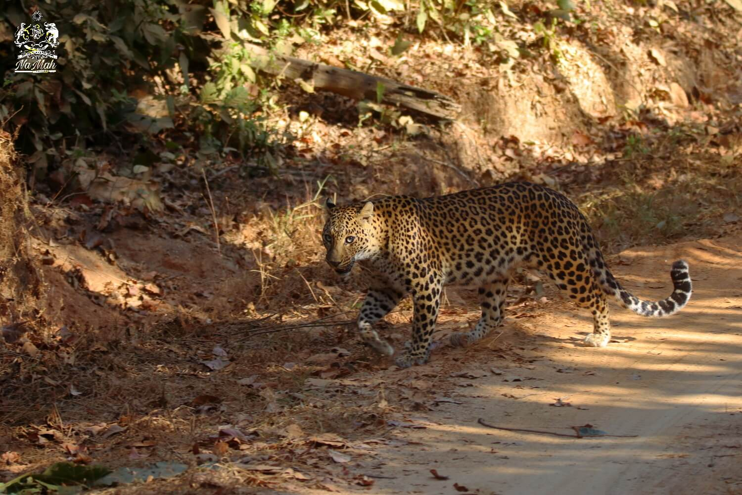 Leopard crossing road in national park