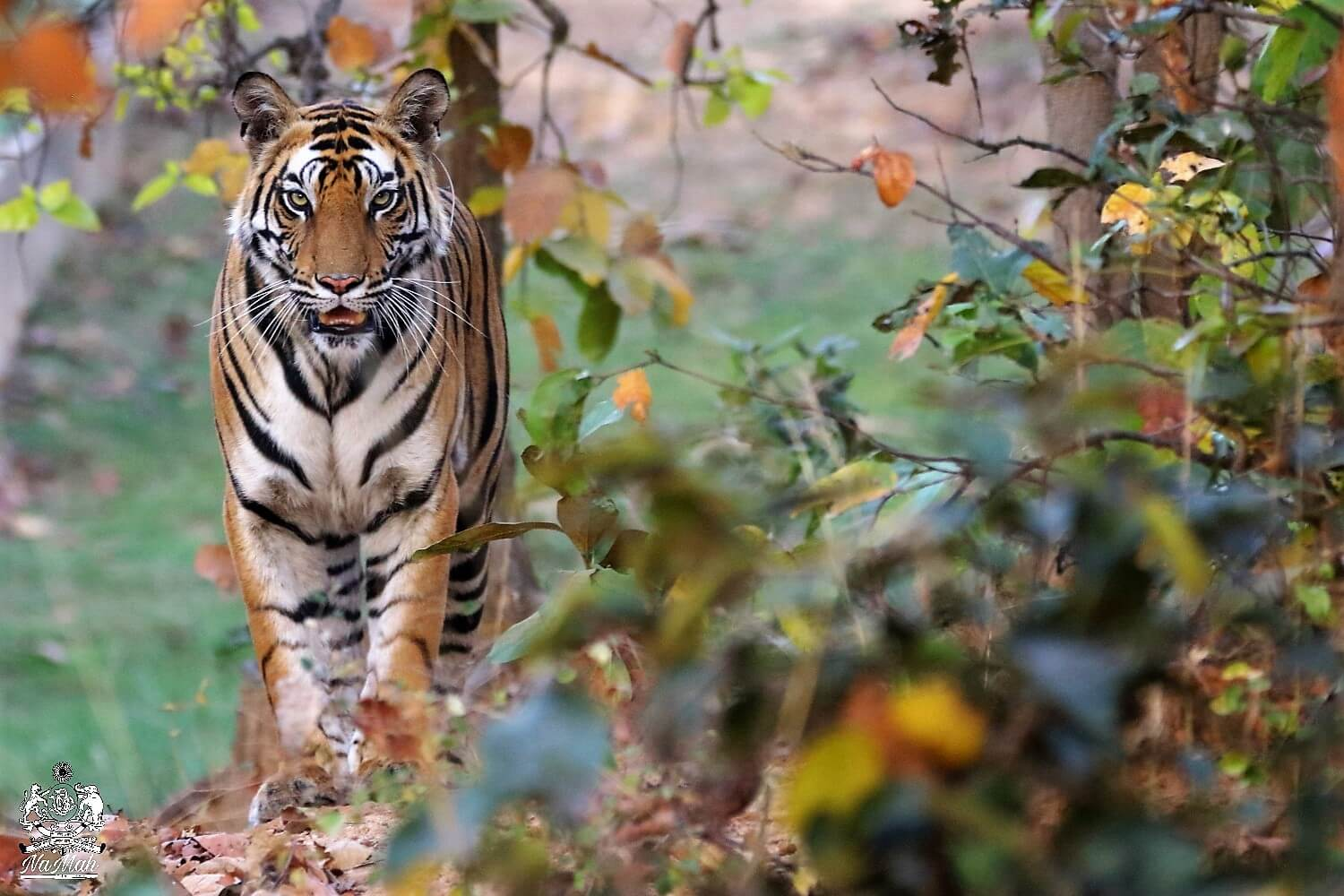Tiger sitting and watching the photographer at Sanjay Dubri National Park
