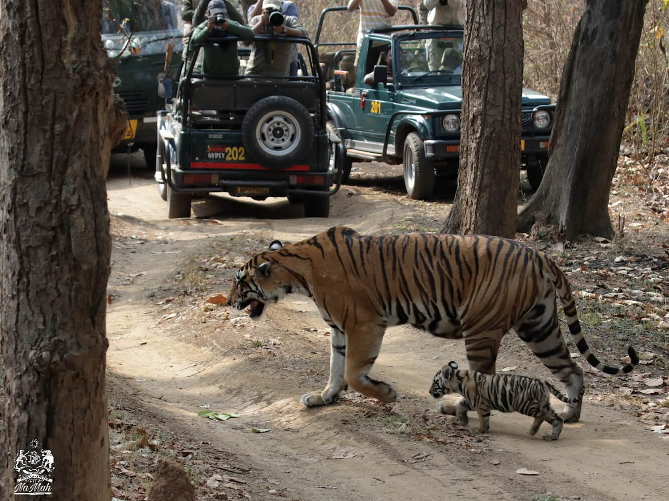 Tigeress Choti Mada walking on road with her cub in jungle of Kanha