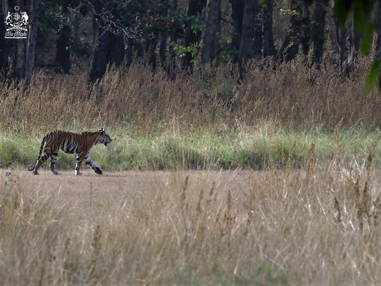 Tiger walking in its home forest, habitat photograph