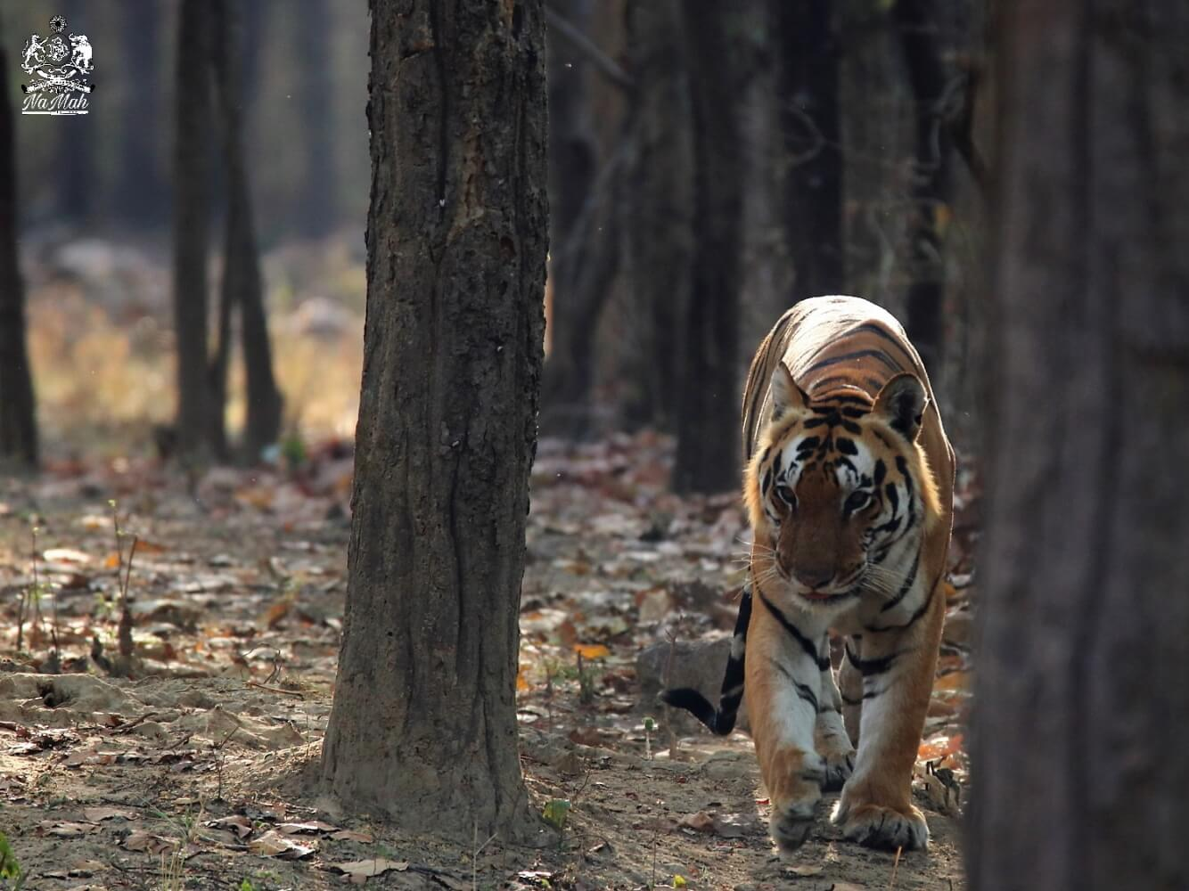 Tiger walking out of wood with back light