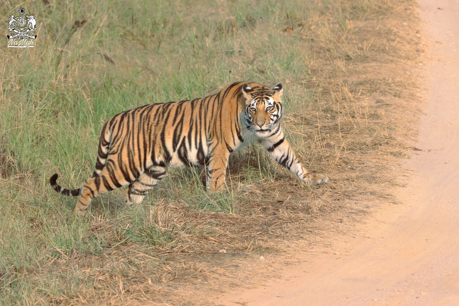 Tigress looking at photographer while coming out of grassland