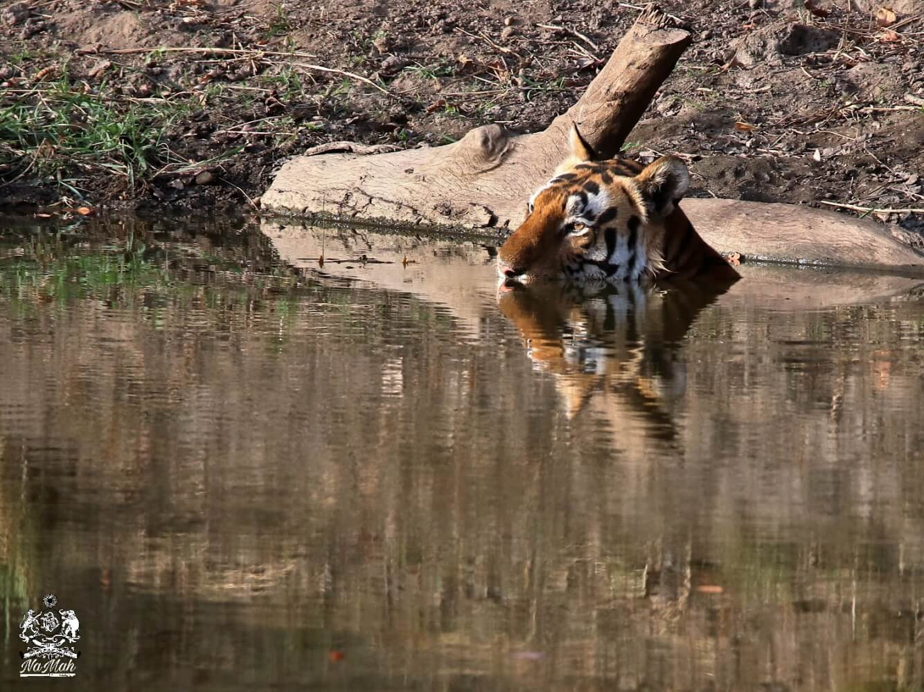 Famous Chota Munna of Kanha taking dip in his favourite pond