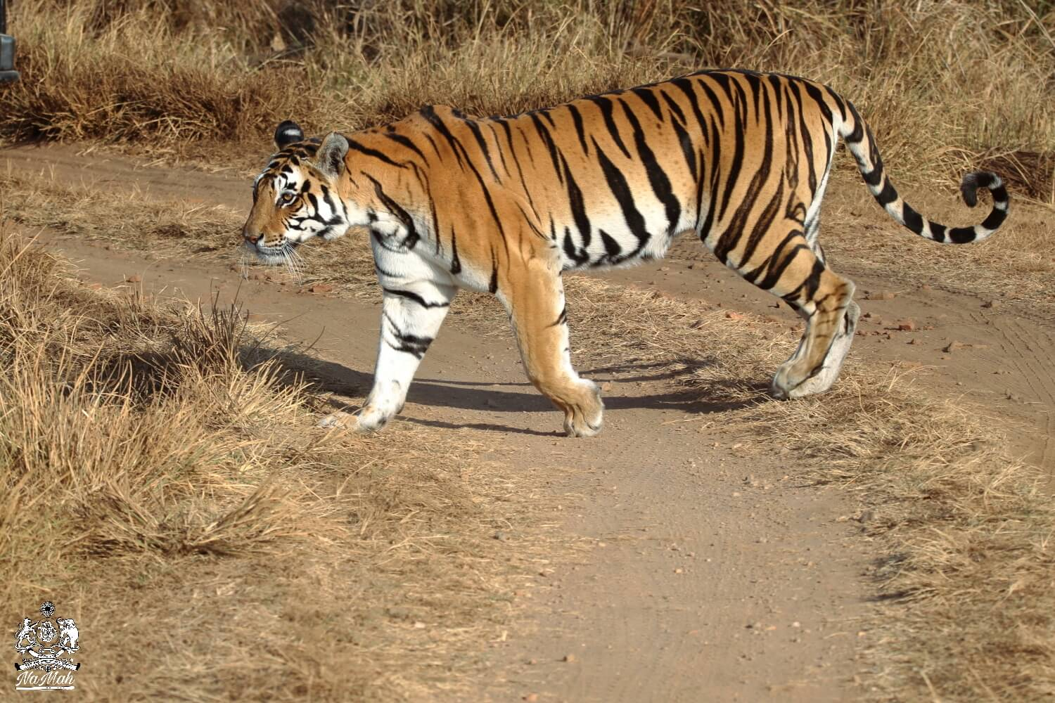 Tiger crossing road from front of Gypsy