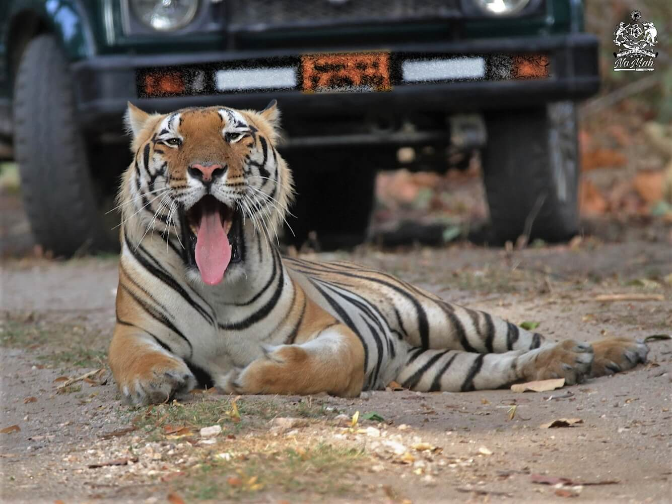 Tiger sitting and yawning on road blocking safari traffic