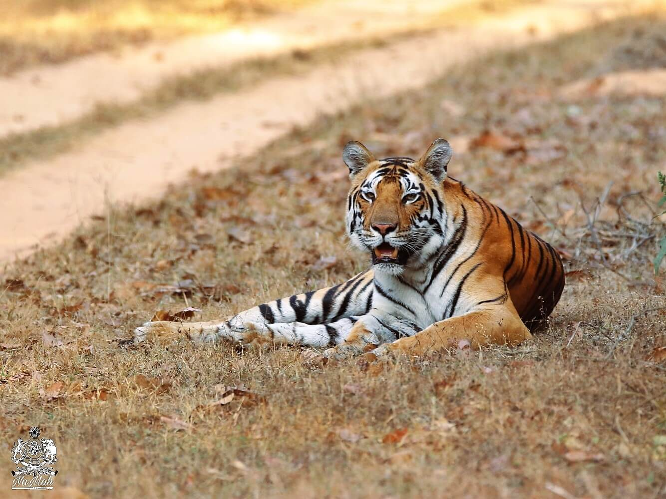 Tigress Naina of Kanha sitting on grass besides safari road