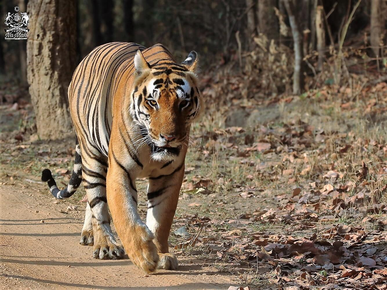 Chota Munna Tiger of Kanha walking on safari road