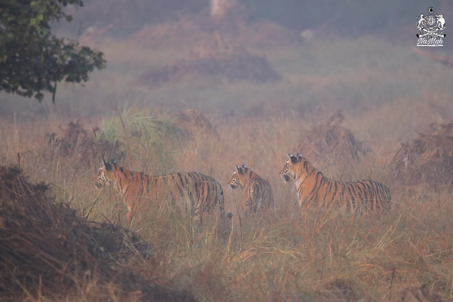 Tigers standing together in tall grass in early winter morning